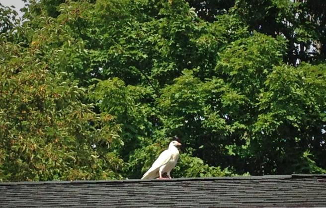 9-11-white-bird